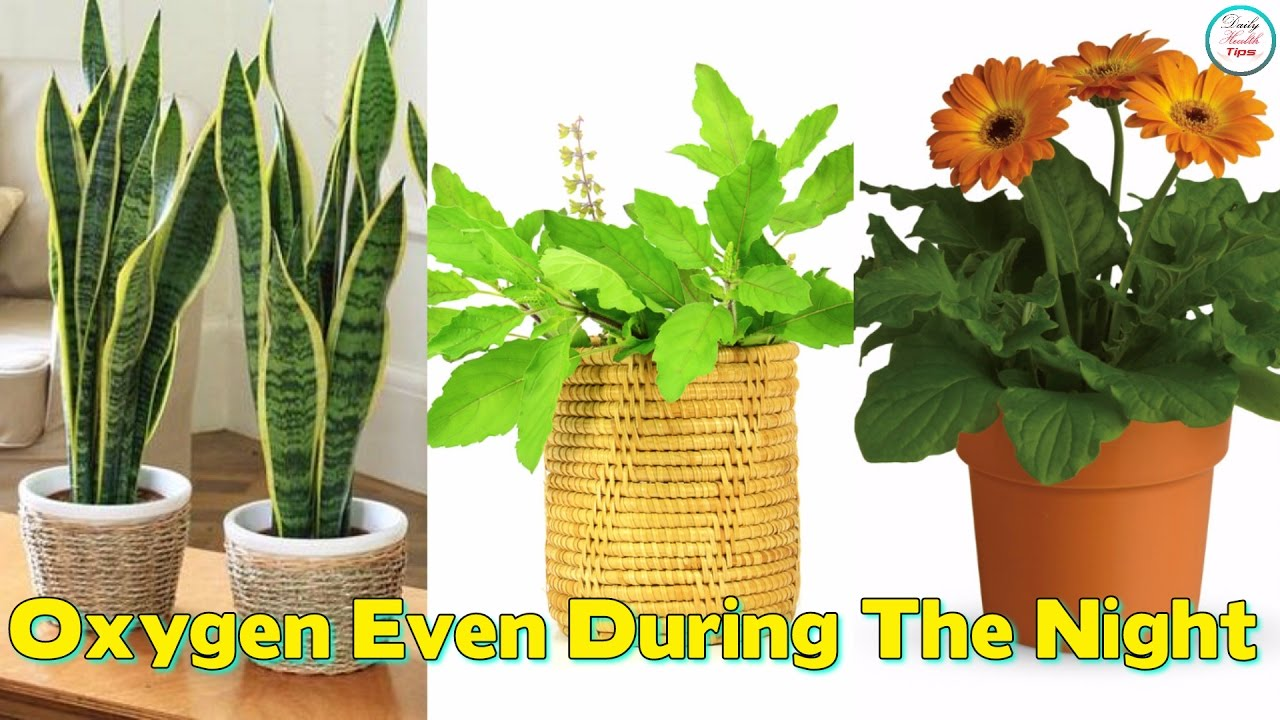 Plants Which Give Out Oxygen Even During The Night