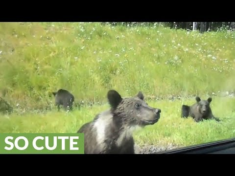 Curious pack of bears wander up to motorists on Russian highway