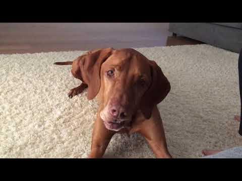 Grumpy Vizsla- Wont listen and talking back