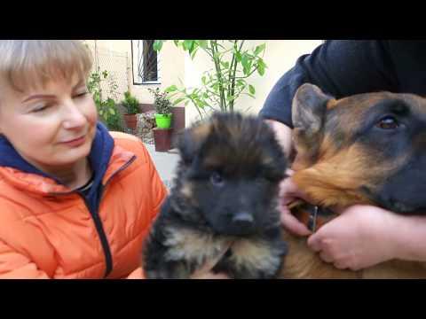 SALE. Папа и сын. Щенок Немецкой овчарки 1 месяц. Dad and son. Puppy German Shepherd 1 month.