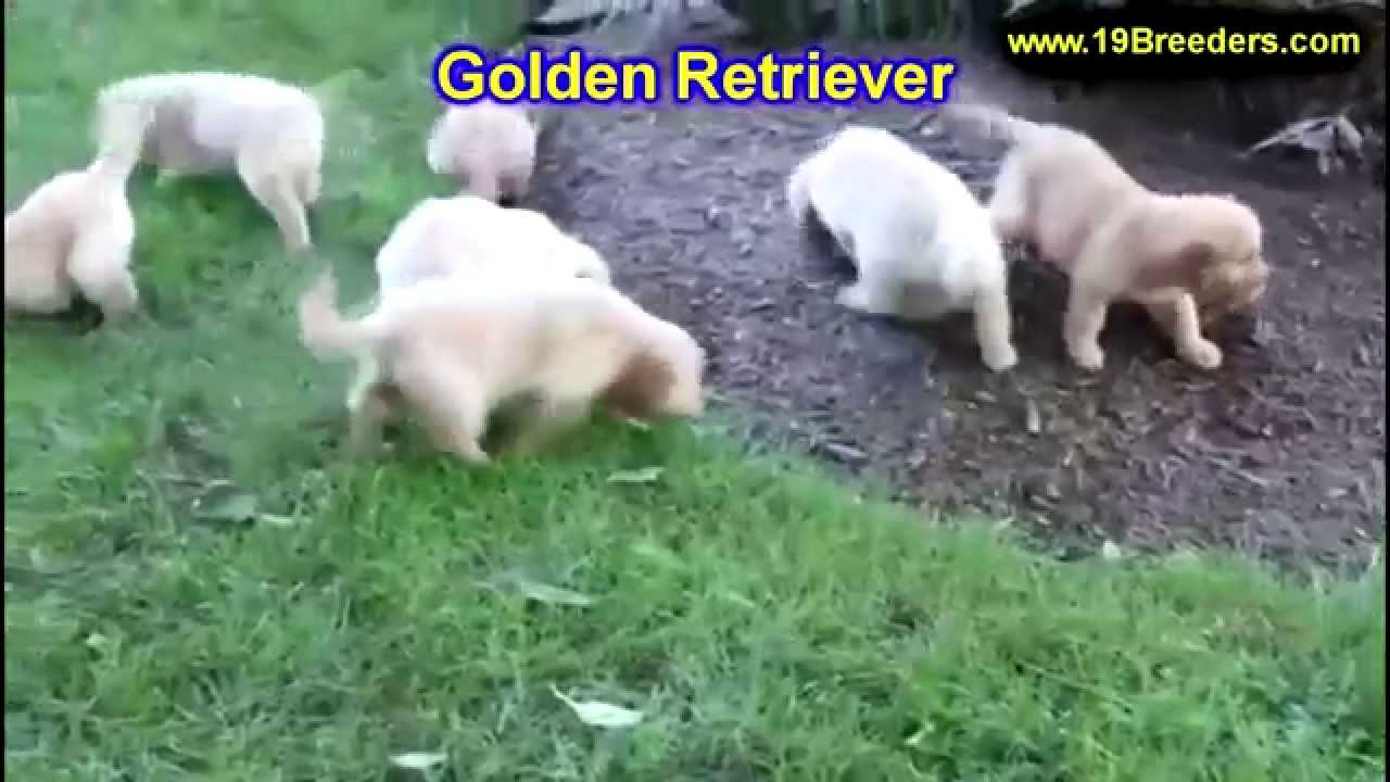 Golden retrievers for sale rochester ny