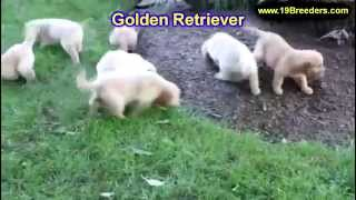 Golden Retriever, Puppies,for,sale, In,orlando Florida, Fl, Deltona,melbourne,palm Coast,
