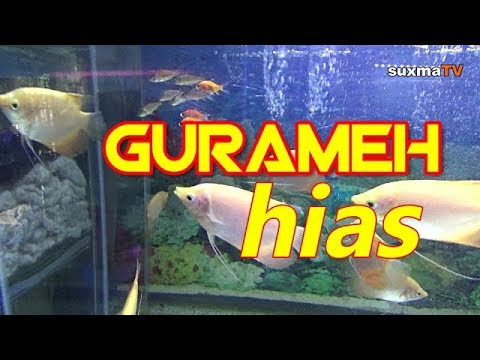 Begini Wujud Ikan Gurame Hias Menguntungkan Youtube
