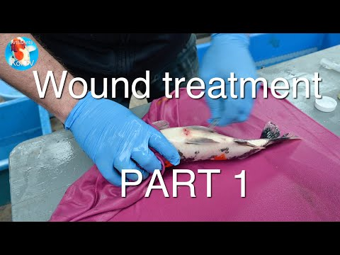 Wound Treatment | KOI FISH Part 1