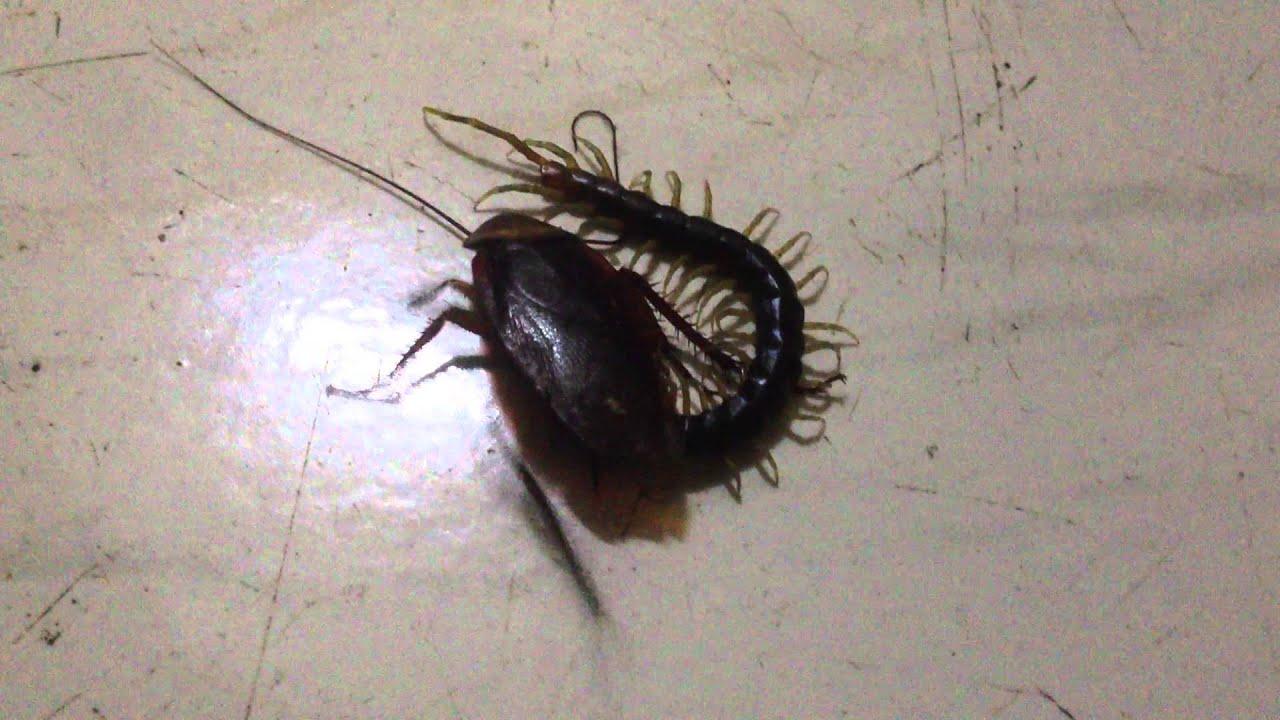 centipede eating a cockroach 1 youtube. Black Bedroom Furniture Sets. Home Design Ideas