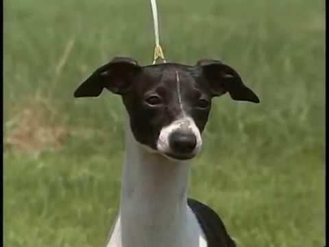 Italian Greyhound - AKC Dog Breed Series