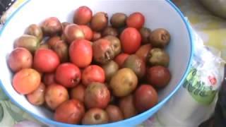 Como hacer mangoniadas de Jocotes parte 1 El salvador 4x4