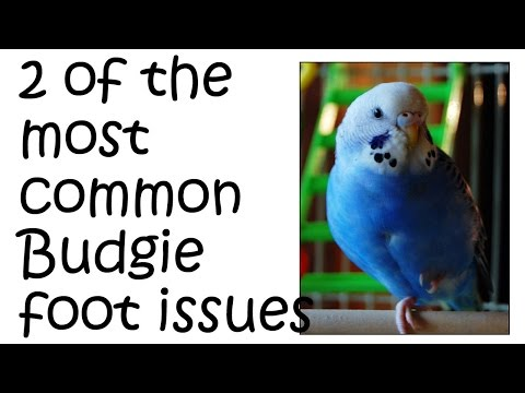 Budgie Foot Problems - issues that can accur with birds feet