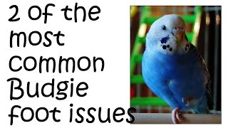 Budgie foot problems - 2 of the most common Parakeet feet issues