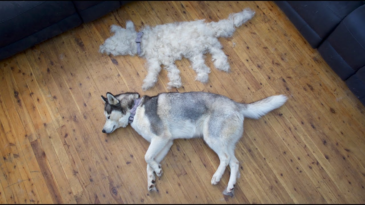 How Much Do Huskies Shed A Day