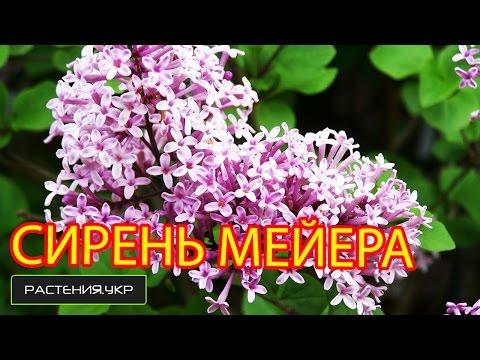 Сирень мейера посадка и уход / Ботанический сад Харькова