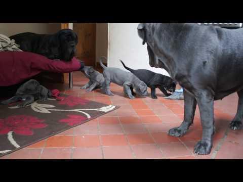 Neapolitan Mastiff puppy barking, takes on big dog
