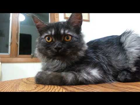 Black Smoke Maine Coon Kitten Meets our Tabby