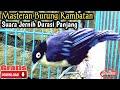 Burung Rambatan Gacor Untuk Masteran  Mp3 - Mp4 Download