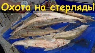 Подводная охота на стерлядь и судака(Ребята, 19 июня 2016 года, сразу после нерестового запрета, будет мастер-класс по подводной охоте! Главный спик..., 2015-07-28T12:30:01.000Z)