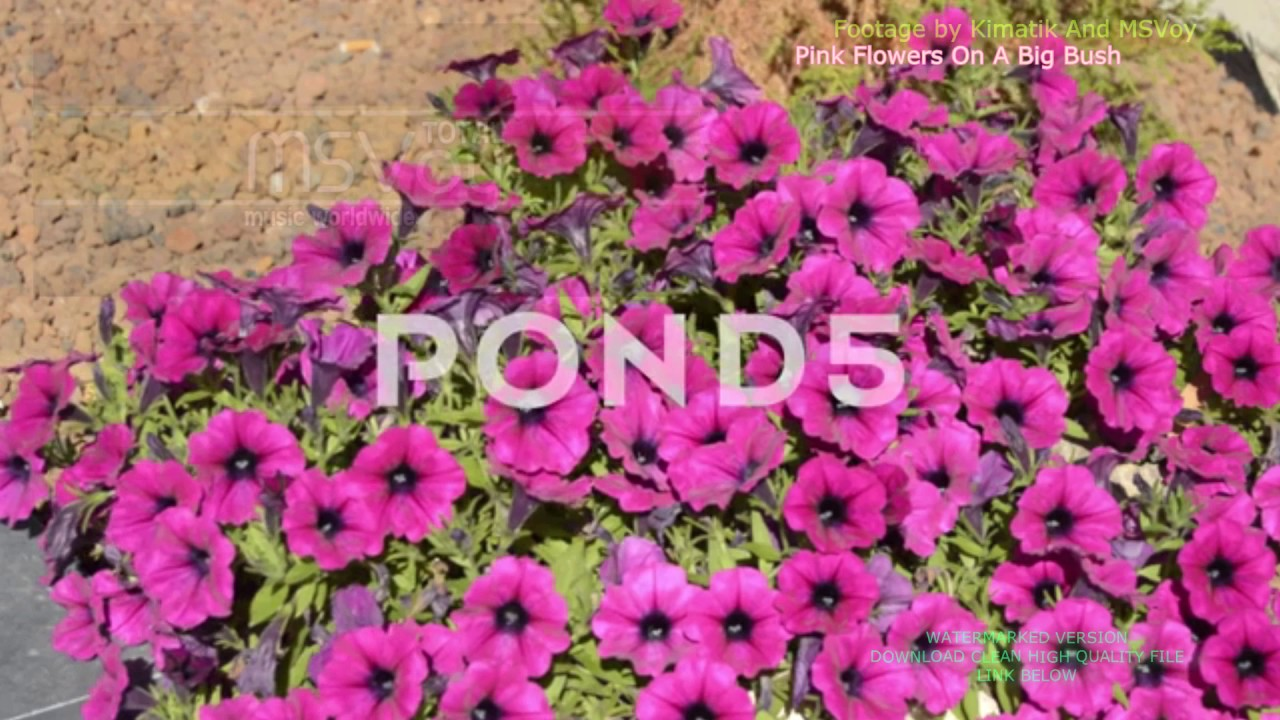 Pink Flowers On A Big Bush Stock Footage Youtube