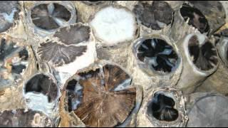 29. Petrified Wood (4th Fl) Geology - University Utah, Sutton Bldg thumbnail