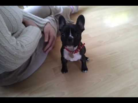 Buldog Francuski French Bulldog Fifi And Training Szkolenie