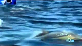 Killer Whales (Orcas) - Nature Documentary HD Part-2 - Shark Attacks 2013 Video