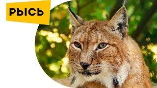 Наука для детей Животные Рысь Лучшие кадры с хищником. Lynx Bobcat Про животных для детей