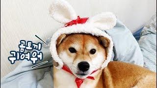 Dogs with Rabbit Hat on!! [Shibainu Gom& Taeng]