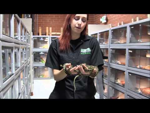 Small Irian Jaya Carpet Pythons
