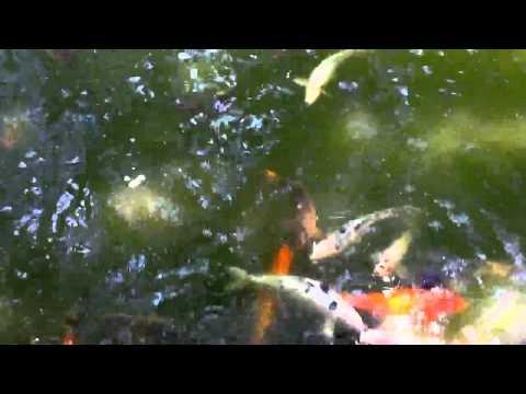Koi fish @ Japanese Garden Fort Worth TX