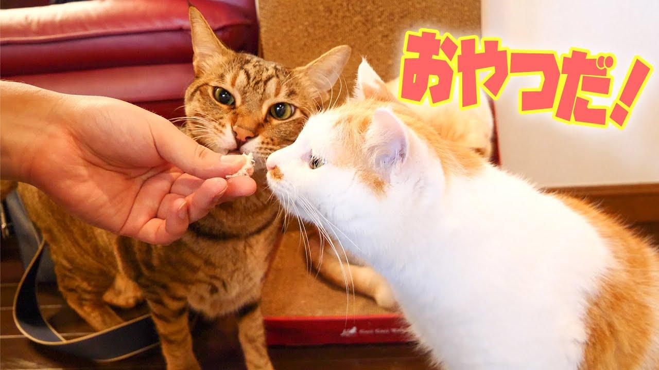 猫たちに手から直接おやつをあげてみました