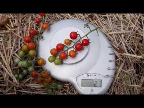 Сорт томата Красная смородина