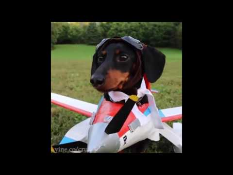 Best Vine Video Compilation by Crusoe Celebrity Dachshund Funny Dog