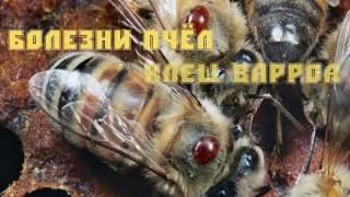 Болезни пчел. Урок 1: клещ варроа.