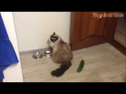 Cats scared of Cucumbers Compilation - Funny Cats 2017