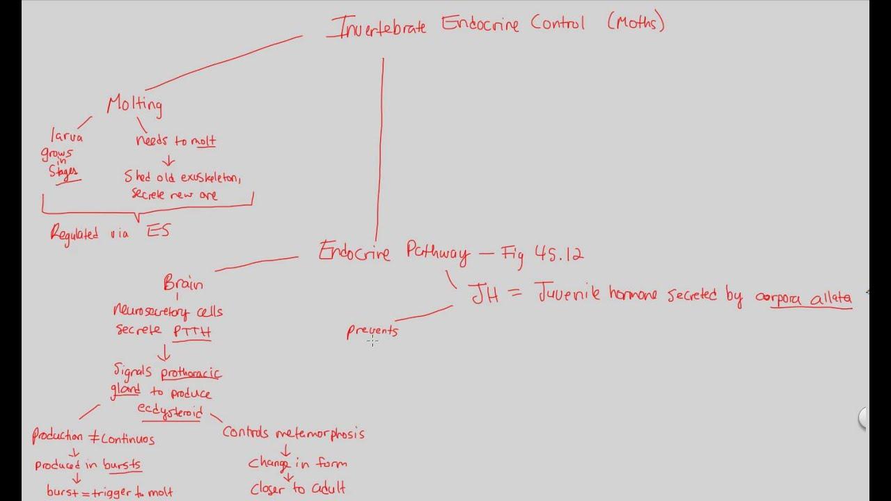 Endocrine System Ii Invertebrate Youtube