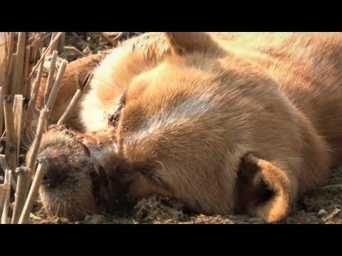 После воспитательных мер, собака с заклеенной мордочкой лежала без сознания на открытом поле
