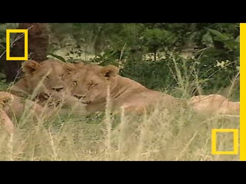 Lion Insemination | National Geographic