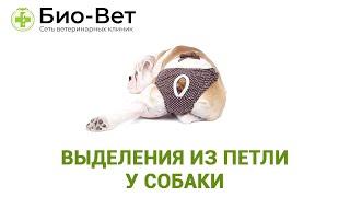 Выделения из петли у собаки. Ветеринарная клиника Био-Вет.