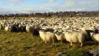 アイスランドのゴールデンサークルツアーで見た羊追いです。 牧羊犬が羊...