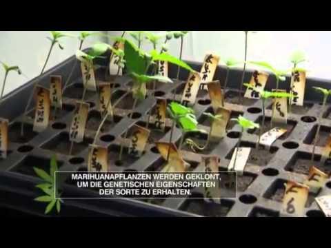 Amerikas Kiffer-Kultur (American Weed) - Pro und Contra / Folge 3