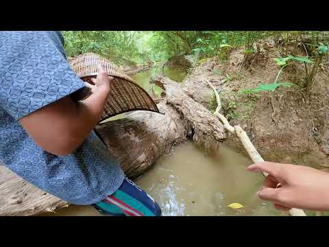 So Lucky Found Dragon Fish (White Arowana Fish) Under Flooded Tree Trunk In River