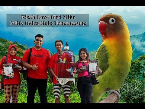 PANJI WIGUNA : Otak - atik setingan love bird jantan juara ala Indra Hulk Temanggung