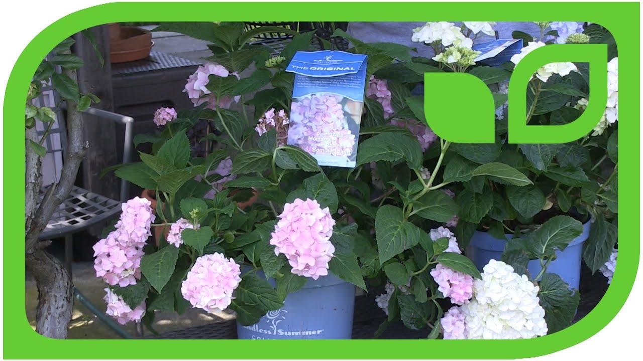Extrem Die dauerblühenden Hortensien schneiden - YouTube OI99
