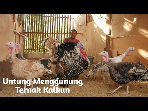 Kisah Mantan Sopir Sukses Ternak Ayam Kalkun Dan Dirikan Resto Menu Khas Kalkun