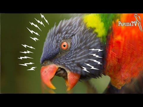 Agresja U Papug -  Hormony, Zły Dotyk I Inne Przyczyny Oraz 10 Rad, Jak Tą Agresję Wyeliminować