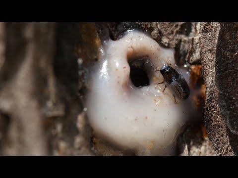 Its a Goopy Mess When Pines and Beetles Duke it Out  |  Deep Look