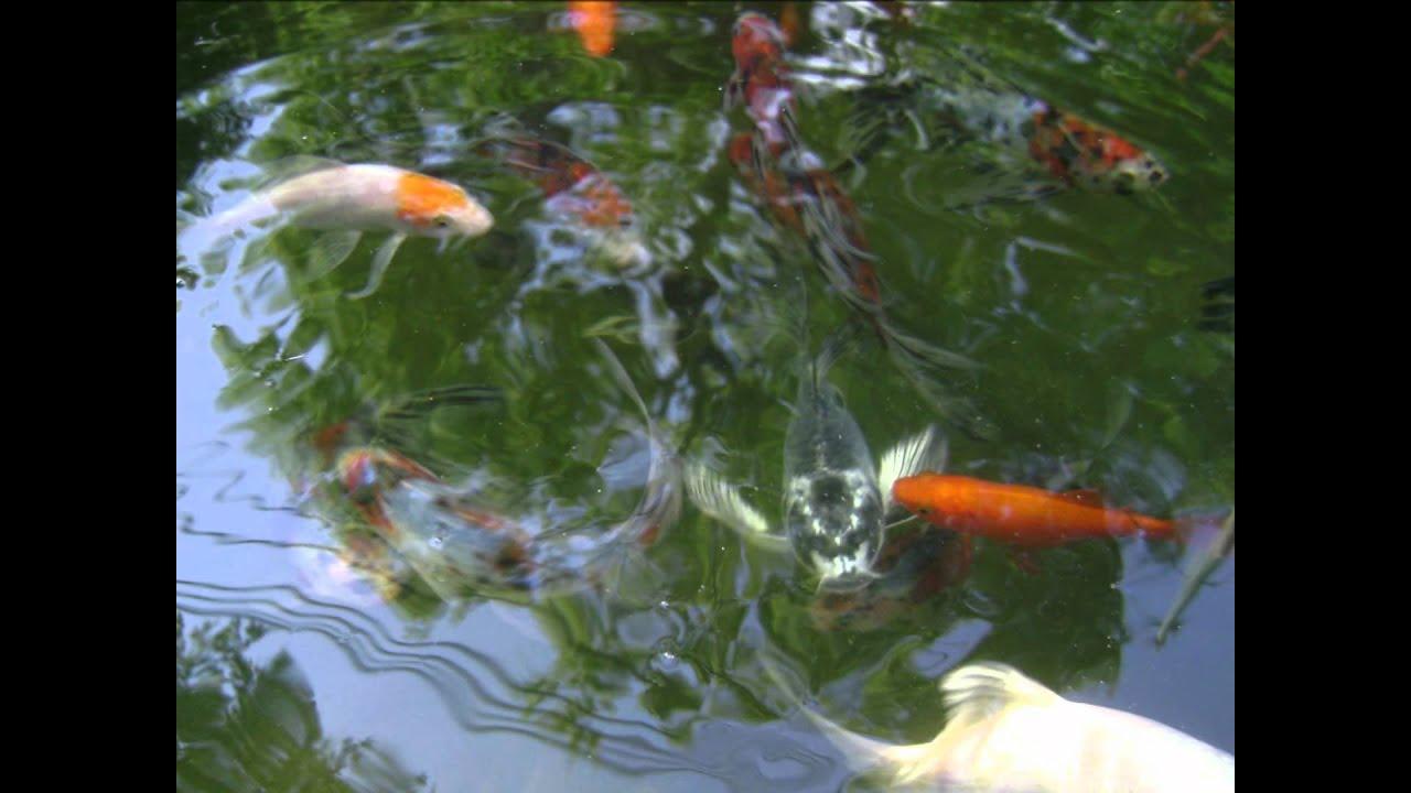 My koi comet and shubunkin pond wmv youtube for My koi pond