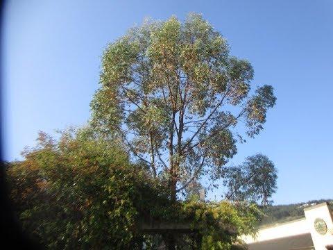 Eucalyptus seedlings planted a Decade ago / Canada