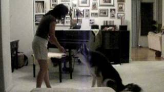 Communist German Shepherd Siberian Husky Mix Doing Tricks