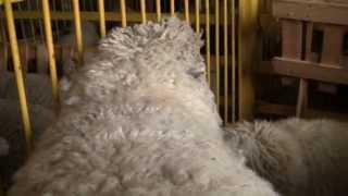 Куйбышевская порода овец на Всероссийской выставке овец г Элиста