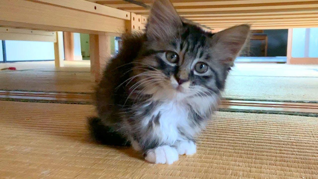 長毛子猫、先住猫モナカと仲良くなる