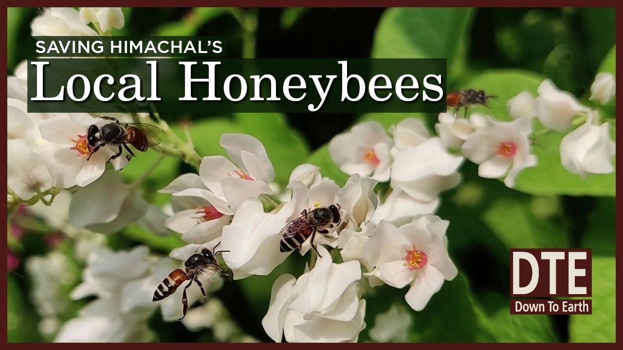 Indian honeybees are disappearing from Himachal | Why are they important to the Himalayan ecology?